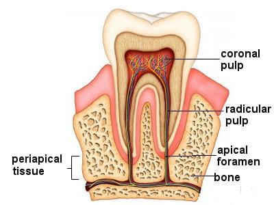 Зубная пульпа перспективная цель для источника молодых стволовых клеток