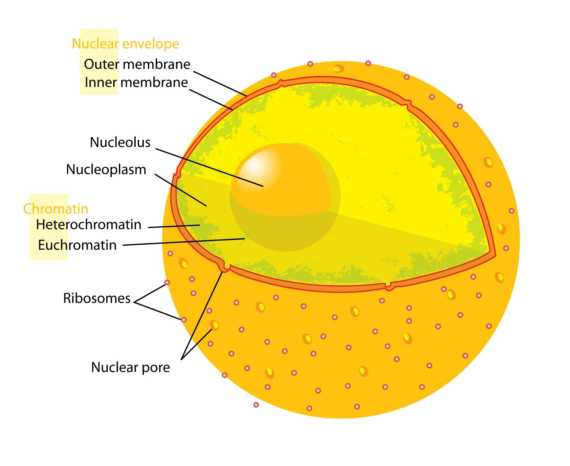 Накопление ущерба в комплексах ядерных поры может стать решающим событием