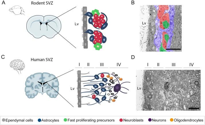 Изменения в пучках стволовых клеток субвенрикулярной зоны через старение