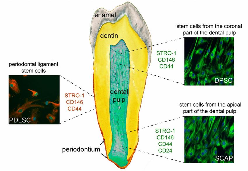 В Vitro Analysis получили мезенхимальные стволовые клетки из зубов человека и костного мозга