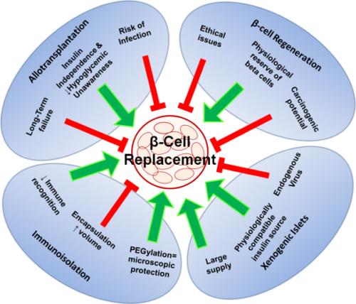 Жизненный период бета-клеток