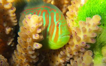 Коралловый риф 911: атакованные кораллы используют химические сигналы для вызова помощи