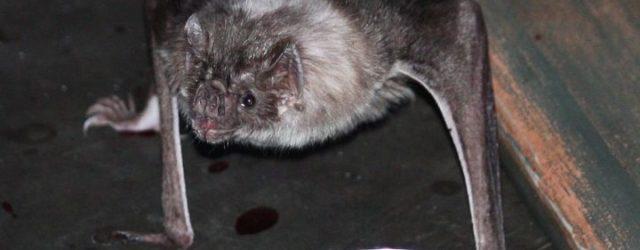 Яд летучих мышей-вампиров может быть использован для лечения огромного количества заболеваний